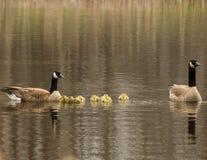 Uma família dos gansos Fotos de Stock Royalty Free