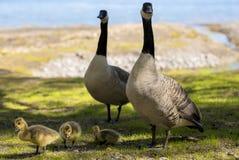 Uma família dos gansos Fotos de Stock