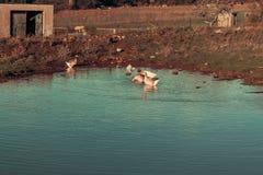 uma família dos gansos em uma exploração agrícola imagem de stock royalty free