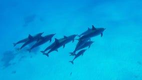 Uma família dos golfinhos nada na claro a água do Mar Vermelho em Egito vídeos de arquivo