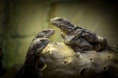 Uma família dos lagartos foto de stock royalty free