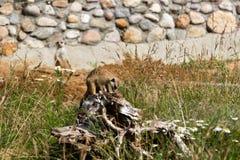 Uma família dos meerkats saiu do furo cedo na manhã Foto de Stock