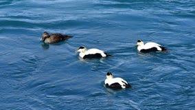 Uma família dos patos que nadam em uma lagoa Fotografia de Stock Royalty Free