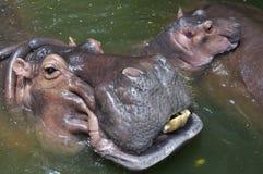 Uma família feliz do hipopótamo imagens de stock royalty free