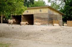 Uma fila do cavalo inteligente Przhevalsky no jardim zoológico de Kyiv imagem de stock royalty free