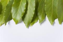 Uma fileira das folhas do louro Imagens de Stock Royalty Free