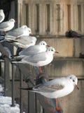 Uma fileira das gaivotas imagem de stock