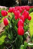 Uma fileira de tulips vermelhos foto de stock
