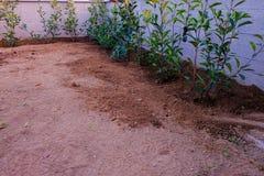 Uma fileira do pisco de peito vermelho vermelho do Photinia apenas plantado foto de stock