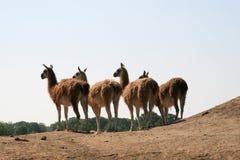 Uma fileira dos lamas (Guanaco) Foto de Stock Royalty Free