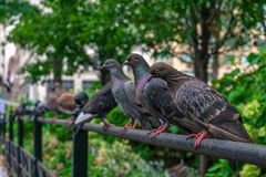 Uma fileira dos pombos no parque de Union Square em New York City fotos de stock royalty free