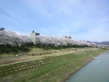 Uma fileira longa das flores de cerejeira Fotos de Stock