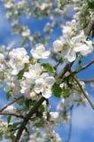 Uma filial das flores da maçã Foto de Stock Royalty Free