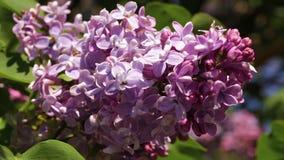 Uma filial de um lilac de florescência filme