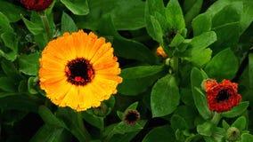 Uma flor aberta entre fechados Imagens de Stock