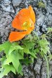 Uma flor alaranjada Imagens de Stock Royalty Free