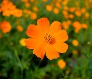 Uma flor alaranjada foto de stock royalty free