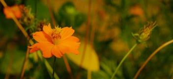 Uma flor alaranjada brilhante Fotografia de Stock