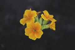 Uma flor alaranjada da prímula Imagens de Stock
