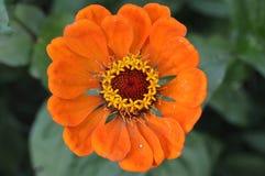 Uma flor alaranjada grande bonita Foto de Stock