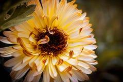Uma flor amarela é próxima ao left_ Foto de Stock