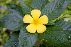 Uma flor amarela Fotos de Stock Royalty Free