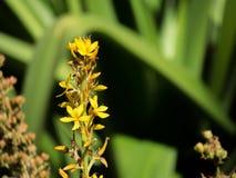 Uma flor amarela bonita do thyrsiflora de Wachendorfia, é um gênero dos perennials cormous endêmicos à província de cabo em Áfric fotos de stock