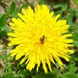 Uma flor amarela brilhante é um dente-de-leão Nele senta uma formiga em torno da grama verde imagens de stock