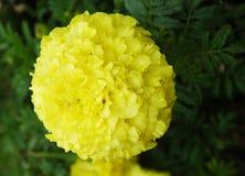 Uma flor amarela brilhante com centenas de pétalas Fotografia de Stock