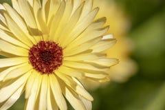 Uma flor amarela da margarida foto de stock royalty free