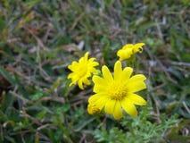 Uma flor amarela na estação de mola no jardim Imagens de Stock Royalty Free