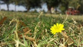 Uma flor amarela pequena da grama Fotografia de Stock