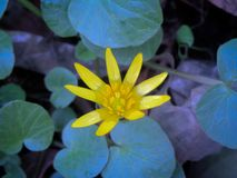Uma flor amarela pequena da mola na perspectiva de suas folhas azul-roxo-verdes imagem de stock royalty free