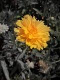 Uma flor amarela que brilha na luz solar da manhã foto de stock
