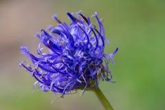 Uma flor azul bonita Fotos de Stock Royalty Free