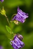 Uma flor azul bonita Foto de Stock