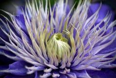 Uma flor azul da clematite foto de stock royalty free