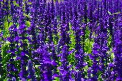 Uma flor azul de victoria do salvia com cor roxa ou violeta no parque com macro ou o próximo acima - da foto foto de stock