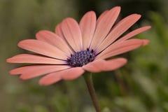 Uma flor azul do centro das pétalas cor-de-rosa do pêssego Imagens de Stock Royalty Free