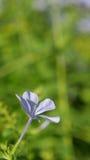 Uma flor azul isolada Fotografia de Stock Royalty Free