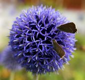 Uma flor bonita, Allium Oreophilum fotografia de stock royalty free