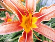 Uma flor bonita ama o mundo inteiro Fotografia de Stock