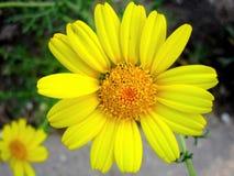 Uma flor bonita do yelow imagem de stock royalty free