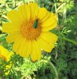 Uma flor bonita do yelow com um inseto imagens de stock royalty free