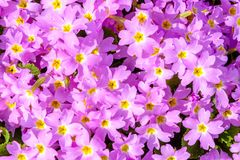 Uma flor bonita tem a violeta roxa Textura foto de stock