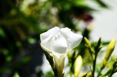 Uma flor branca bonita encontrada em Grécia Fotos de Stock Royalty Free