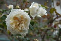 Uma flor branca com um centro amarelado de um fim cor-de-rosa acima contra um fundo obscuro de ramos diferentes dos rosehips imagens de stock