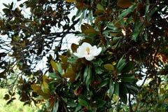 Uma flor branca da magnólia imagem de stock