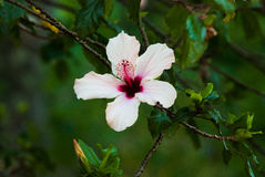 Uma flor branca e cor-de-rosa em um jardim Fotos de Stock Royalty Free