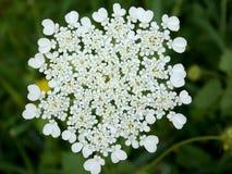 Uma flor branca na primavera altamente ramificada imagens de stock